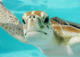 Cherbourg (Manche) : la Cité de la Mer au secours des tortues