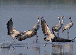 En février et en mars, rendez-vous au Lac du Der en Champagne pour assister à la migration des grues cendrées