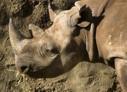 L'ONG Rewild, repreneur du zoo de Pont-Scorff, publie l'autopsie du rhinocéros noir Jacob décédé le 31 décembre 2019