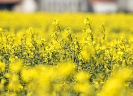 Le Groupe Soufflet Agriculture valorise le colza bas carbone